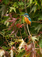 IMG_2229 kingfisher sitting on acer cropped portrait small