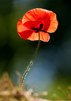 We Will Remember Poppy Canvas